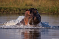 IMGP4473 Splash from the river (Claudio e Lucia Images around the world) Tags: hippo zambesi zambia lowerzambesi sigma