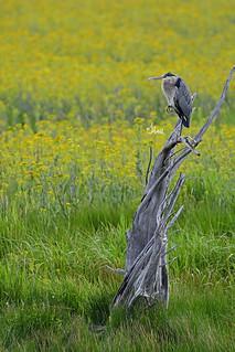 Great Blue Heron on Twisted Tree - 6770b+