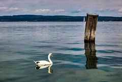 The swan (Yarin Asanth) Tags: story hulahoop workout lakeconstance swan blue water remotecontrol watersports sports gmichael yarinasanth gerdkozik gerdkozikphotography gerd kozik yarin asanth yarinasanthphotography gerdmichaelkozik gerdkozikfotografie
