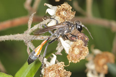 Ichneumon (Prank F) Tags: rspb thelodge sandy bedfordshireuk wildlife nature insect macro closeup fly wasp ichneumon