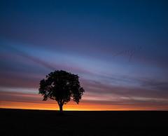 Morning flight (grbush) Tags: tree lonetree minimalism minimalist silhouette morning sunrise dawn daybreak bedfordshire birds countryside rural england sonya7 samyang14mmf28ifedumc sony samyang nature floraandfauna clouds sky