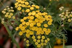 Common Tansy - Tanacetum vulgare, (plsmart) Tags: dncb mountbaker 201735 mtbaker common commontansytanacetumvulgare tansy tanacetum vulgare