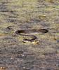 """Natrix natrix"" - ringslang (bugman11) Tags: snake reptile reptiles fauna animal animals ringslang rheden canon natrixnatrix nature nederland thenetherlands 100mm28lmacro 1001nightsmagiccity 1001nights platinumheartaward"