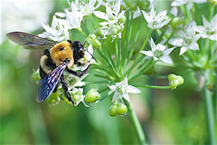 buzz (avflinsch) Tags: ifttt 500px macro flower white green insect bee wasp sting chives