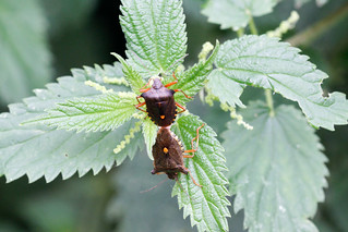 Forest Bug Mating Pair