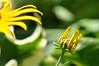 when the cobwebs close in on you (ladybugdiscovery) Tags: blackeyedsusan flower garden webs web yellow green macro bokeh ladybugdiscovry