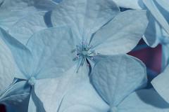 delicate appearance ... (mariola aga) Tags: garden bush flowers cluster hydrangea petals closeup macro colorbalance hue delicate bluish pink tones art thegalaxy