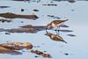Migratory Bird (elenaleong) Tags: seasidebird seashore migratorybird marinabarrage singaporeshore elenaleong reflections mudflats