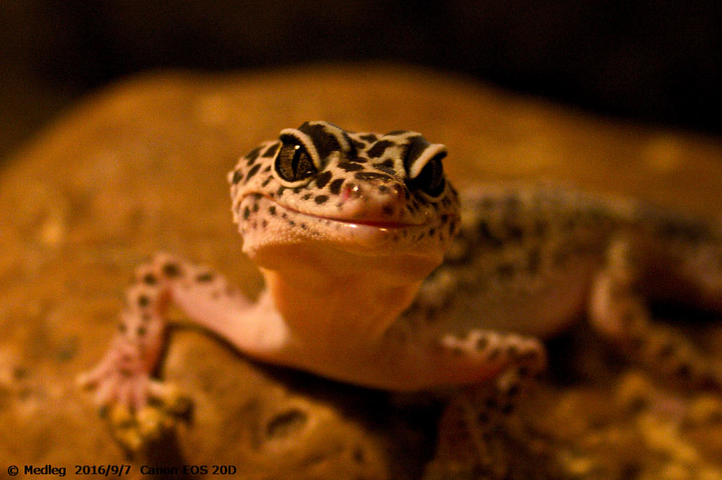 leopard gecko eclipse eyes