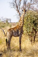 giraffe (lutz_s) Tags: afrika pentaxart nature animal pentax