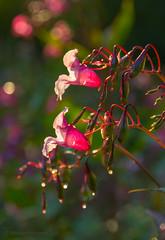 Jättipalsami (Markus Heinonen Photography) Tags: jättipalsami kasvi plant luonto nature vieraslaji impatiens glandulifera