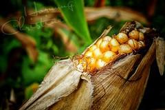 Ernte... (christineho4) Tags: natur naturliebe mais ernte feld felder bayern maiskolben