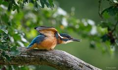 IJsvogel - Kingfisher - Alcedo atthis-8433 (Theo Locher) Tags: ijsvogel kingfisher martinpecheur eisvogel alcedoatthis vogels birds vogel oiseaux belgie belgium copyrighttheolocher