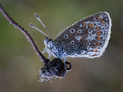 Dewy Blue (Ade G) Tags: insect macro wildlife butterfly closeup