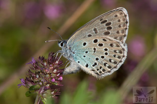 Large Blue - Phengaris arion (Linnaeus, 1758)