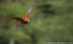 Scarlet Macaw (Alastair Marsh Photography) Tags: scarletmacaw scarlet macaw macaws parrot parrots pan motion blur flight fly flying animal animals animalsintheirlandscape wildlife bird birds costarica costaricanbirds tropical jungle centralamerica latinamerica caribbean rainforest rain rainfall forest