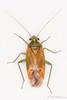 Dichrooscytus intermedius (Olli_Pihlajamaa) Tags: animalia arthropoda dichrooscytus dichrooscytusintermedius hemiptera heteroptera hexapoda insecta invertebrata miridae eläinkunta hyönteiset koti kuneluteet kuusijalkaiset luteet niveljalkaiset nivelkärsäiset pihtahäivelude selkärangattomat