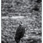 Haida Gwaii Eagle thumbnail