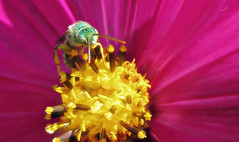 Green and gold (TJ Gehling) Tags: insect hymenoptera bee halictidae sweatbee greensweatbee metallicgreenbee metallicgreensweatbeeagapostemon plant flower asterales asteraceae cosmos communitygarden fairmontpark elcerrito