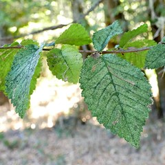*Ulmus minor, ENGLISH ELM. (openspacer) Tags: branch elm insect jasperridgebiologicalpreserve jrbp leaf leafminer nonnative tree ulmaceae ulmus