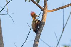 Celeus obrieni/Kaempfer's Woodpecker