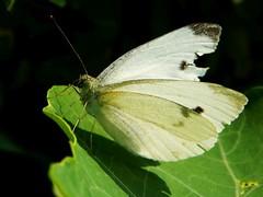 Worn Small White (starmist1) Tags: bug butterfly worn injured used pose posed foliage frontyard maggiesgarden flowergarden september summer