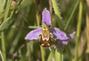 Bee Orchid (Ophrys apifera) (macronyx) Tags: nature plants plant växt växter blommor flower flowers orchid orkide beeorchid biblomster biofrys ophrys ophrysapifera