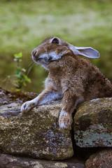 Lever les yeux au ciel! (dominiquita52) Tags: rabbit lapin animal