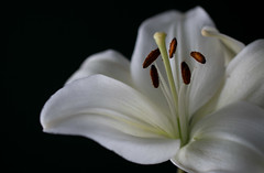 Lily on Black (Deborah S-C -In The Fairy Garden! Off a bit!) Tags: september2017 lily lilylongiflorum easterlily whitepetals filaments anthers stamen stigma style pollen perianth white rustybrown black onblackseries beauty