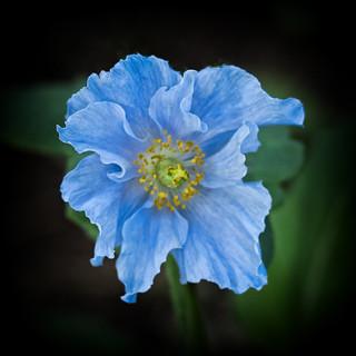 Blue Softy