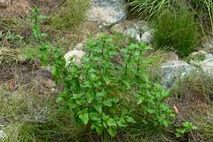*Mentha spicata, (M. spicata var. s.), SPEARMINT.  lvs sessile (vs M. piperita). (openspacer) Tags: jasperridgebiologicalpreserve jbp lamiaceae menthaspicata nonnative riparian spearmint jrbp