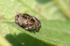 Spider 91017 (3) (maerlyn8) Tags: spider arachnid jumpingspider bug hairy macro canon 100mm animals southparkdemonstrationgarden september 2017