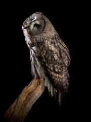 Pardon? (susie2778) Tags: olympus omdem1mkii libertys captive captivelight flash studio bird 12100mmf4pro olympusm12100mmf40 owl greatgreyowl