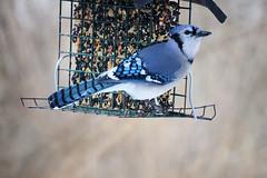 Blue-Jay_Livonia-MI_01-16-2011a (Count_Strad) Tags: birds bird bluejay screechowl owl jay livonia mi michigan