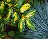 Elaeagnus and blue grass 18.9.17. (VolVal) Tags: dorset bournemouth boscombe garden shrub elaeagnus bluegrass festucaglauca september