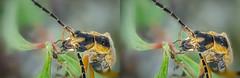 Cliffhanger stereo (Saul G.) Tags: stereo macro closeup macrolife macrophotography macroworld focus stacking stack nature nikon d7000 insect bug