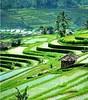 foto pemandangan sawah terindah di dunia (riche_chik) Tags: foto pemandangan sawah terindah di dunia pemandanganindah pemandanganalam