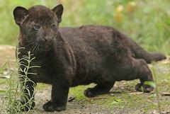 jaguar, born 28 6 2017 artis BB2A2487 (j.a.kok) Tags: jaguar blackjaguar zwartejaguar jaguarcub artis rica mowgli mammal zoogdier dier animal southamerica zuidamerika kat cat predator pantheraonca