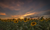 Campo de girasoles. (Amparo Hervella) Tags: guadalajara españa spain flor girasol naturaleza paisaje nube color largaexposición d7000 nikon nikond7000 comunidadespañola