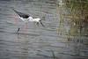 Himantopus himantopus (AlexandreRoux01) Tags: himantopus echasse blanche échasse blackwinged stilt