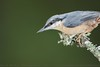 Nuthatch (Steve Nelmes Photography) Tags: animal avian birds cameragear cannopponds canon canon14xteleconverter canon1dxmark2 canon2xteleconverter canon300mm28lmkii canon600exrt england feathered forestofdean magmodgrid magmodmagbeam nature nuthatch perched robin stevenelmesphotography summer untitled wildanimal wildbird wildlife wildlifewatchingsuppliesbeanbag wirelessflash