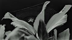 des fils dans la lumière (karine_cattier) Tags: 7daysofshooting vibrant bwwednesday spider web smileonsaturday blackattheback