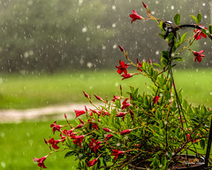 _DSC8397 (dixiedog) Tags: flowersplants rain summer