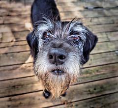 The Bearded Lady (LupaImages) Tags: beard lady girl dog canine face nose pet animal