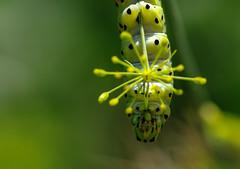 Kopfüber (eulenbilder) Tags: dill raupen schwalbenschwanzraupen garten grün leben smileonsaturday bizarrebugs