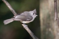 4039 (Eric Wengert Photography) Tags: baeolophus baeolophusbicolor tuftedtitmouse bird