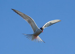 Common Tern ANR 16th July 2017