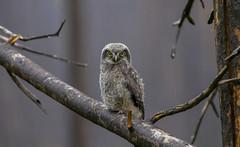 Northern Hawk Owlet (Khanh B. Tran) Tags: