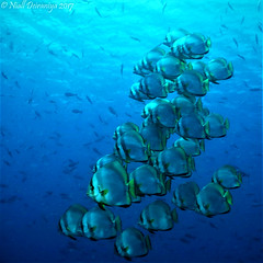 THE BATS GANG (Niall Deiraniya Underwater Photography) Tags: batfish bat marine under coral shoal