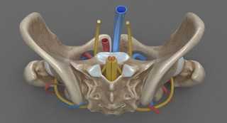 Female Pelvis 3D Model